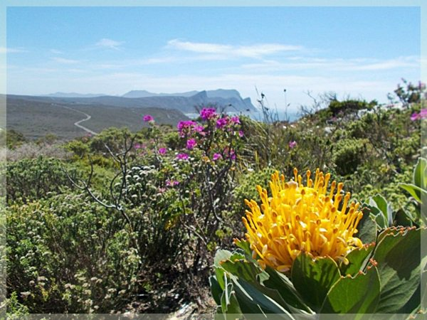 Pin cushion protea and Table Mountain in distance at Cape of Good Hope