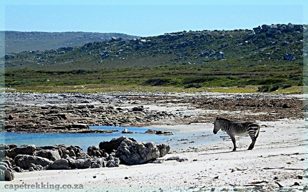 A lone Zebra stands on beach at Cape of Good Hope