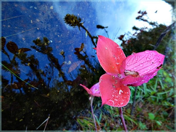 Red Disa, Table Mountain