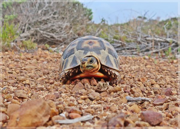 tortoise on the Cape of Good Hope overnight trail