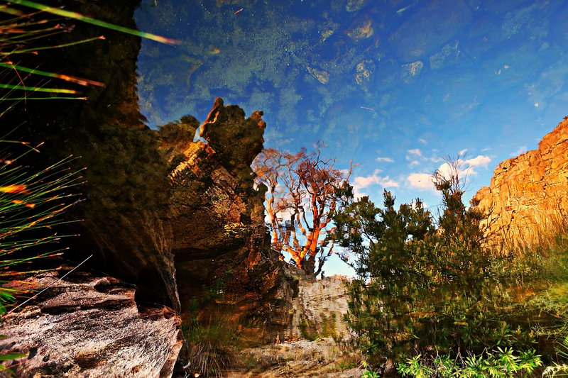 ceder tree reflected, cederberg