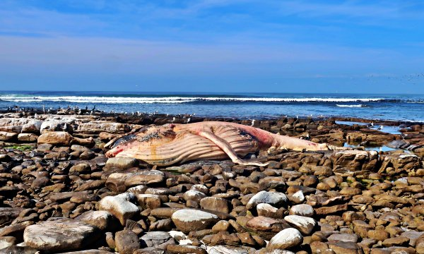 Beached dead whale at Cape of Good Hope Nature Reserve