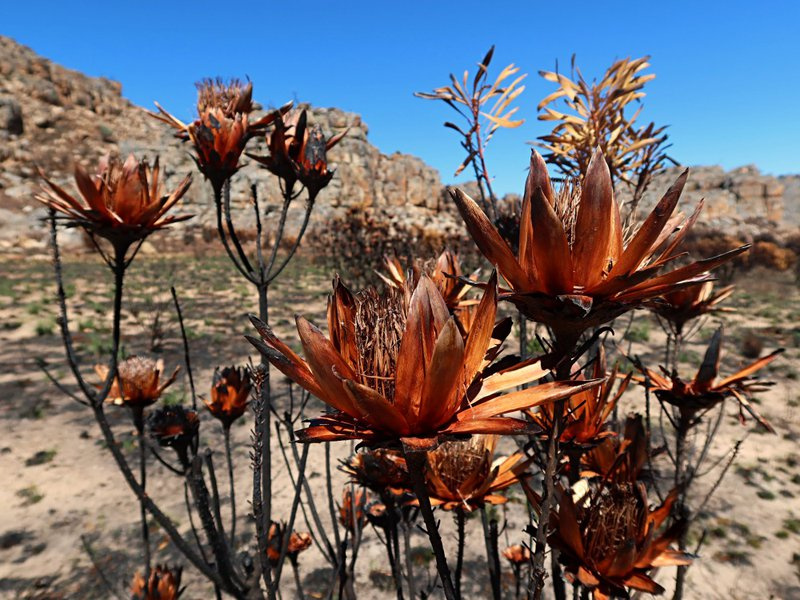 burnt protea Cederberg Wilderness area 2020