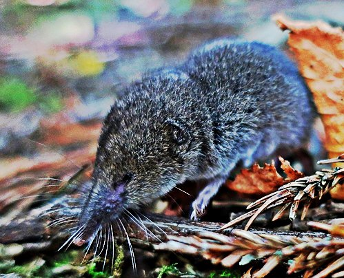 table mountain forest shrew
