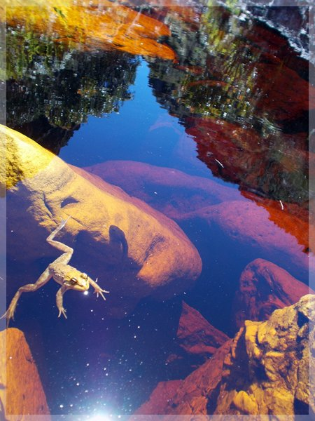 Cape Frog in a Table Mountain stream, and reflection of the gorge.