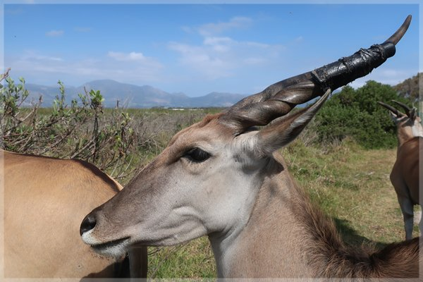 An Eland at the Gantouw Project, Cape Town