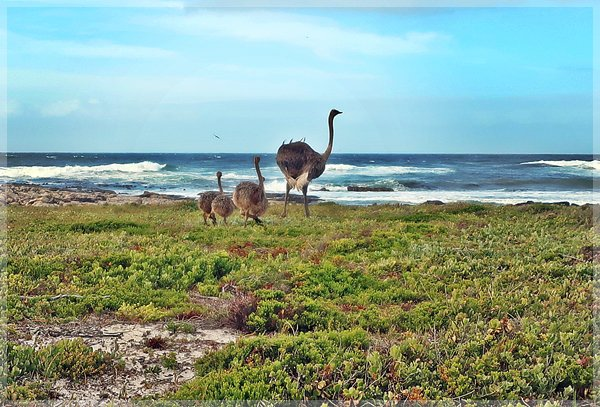 ostrich and her young at Cape Point