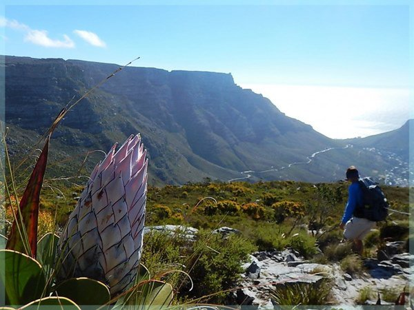 protea_and_table_mountain1.jpg